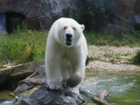 Polar bear, Vienna ZOO