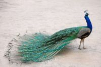 No, I will not fan my tail feathers!