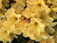 Yellow Rhodies