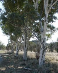 Young eucalypts in the Flinders Ranges