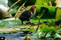 Coot chick leaving nest