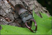 Lucanus cervus - stag beetle