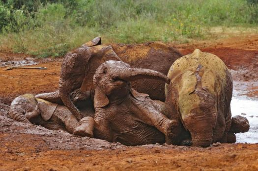 elephant babies mud bath