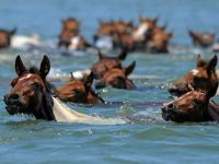 You can watch more than 100 ponies swim to Chincoteague Island every year in Virginia.