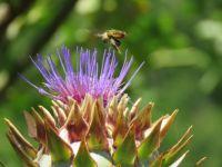 Cardoon and Bee