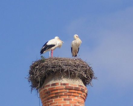 Black Storks at nest. Portugal. Feb '13.