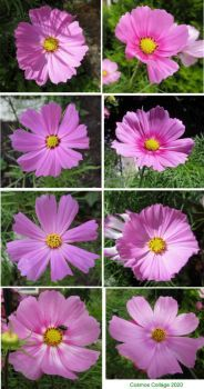 Cosmos or Cosmea Collage # 1