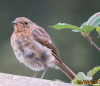 One of the other Juvenile Robins