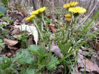 Series springflowers: Coltsfoot / Klein Hoefblad