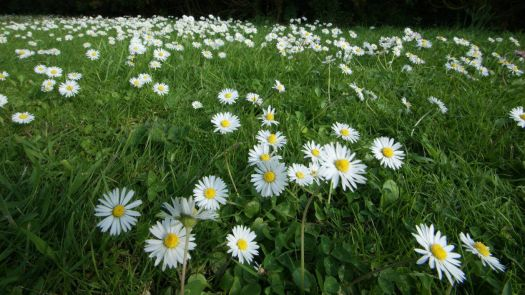 My lawn - What happens when you go away for a couple of days/daisies :-)