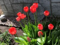 Finally ,We have some tulips !
