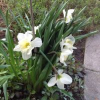 Survivor 3 - blooms still lovely but stems are broken