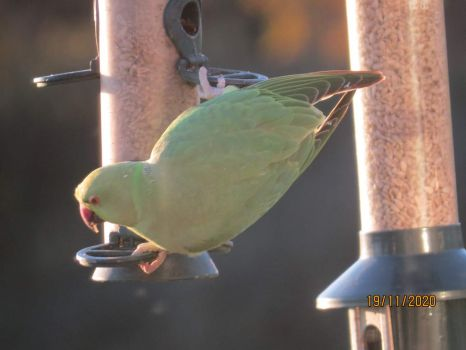 Then the Rose Ringed Parakeets arived