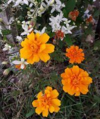 Merry little marigolds