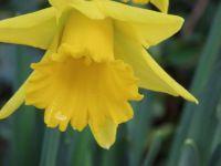 26 jan 2021: er bloeien narcissen in Winterswijk!