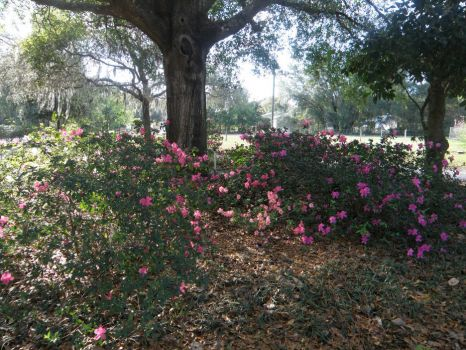 My Azaleas are a riot of color today.
