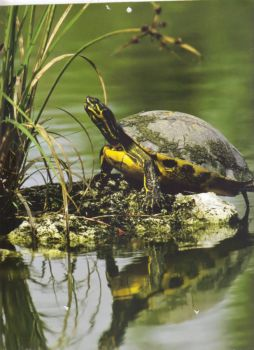 Painted Turtle - Everglades National Park