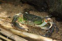 Fresh water crab