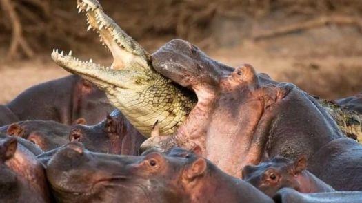 World Most Dangerous Animals -  Hippopotamus