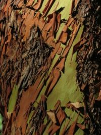 Bark of the Arbutus Tree (for Mariel)