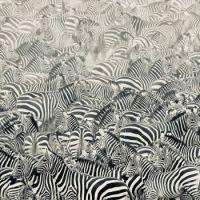 Zebra on Africa's Mara River