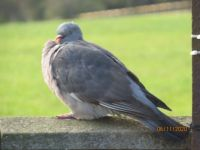 Wood Pigeon in the morning sun