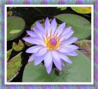My Lilac Waterlily. Smaller.