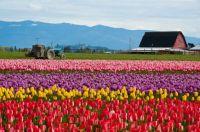 Skagit Valley Tulip Fields in Washington, USA