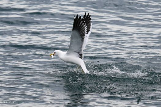 Black-backed gull with his/her catch