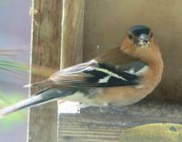 male chaffinch with his mouth full (vinkenman)