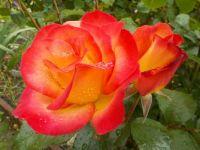 Rose 'Rainbow Sorbet'