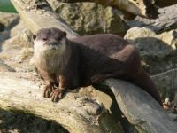 zagreb zoo small clawed otter