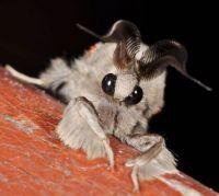 Venezuelan horny moth