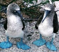 theme, blue footed boobie