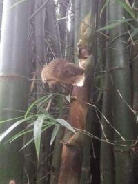 Bamboo rat eating bamboo