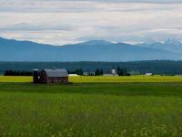 canola field behind the barn