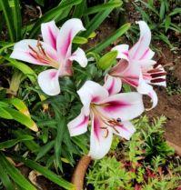 Garden Asian Lilies