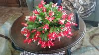 Our Christmas Cactus