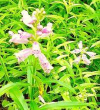 Pink Obedience Flowers