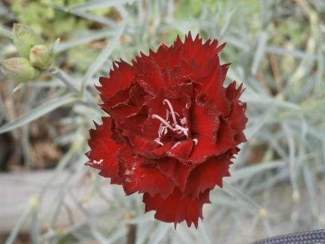 A Red Carnation