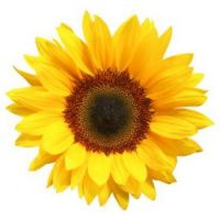 sunflower-isolated-picture-id174648035