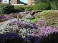 Heather in Bloom (1)