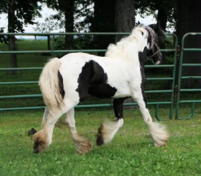 My new Gypsy Vanner filly... Whimsey.
