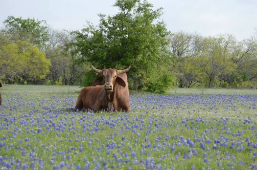 Texas bull and bluebonnets