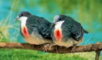 Bleeding-Heart Pigeons