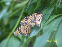 monarchs 10