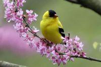 bird on redbud tree