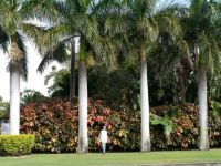 Bangalow palms and acalypha