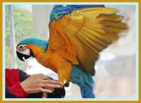 5-months, male blue and yellow macaw parrot