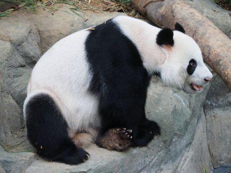 Panda, Singapore ZOO